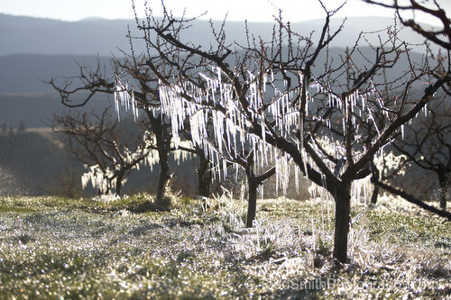a frosty row of cherry trees
