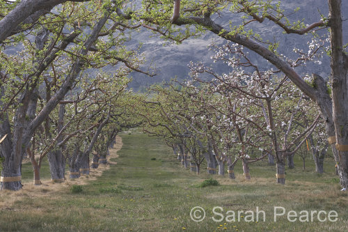 a row of apple trees in bloom
