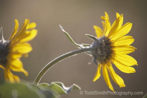 Okanagan Sunflowers in the early morning light