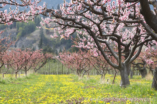 Peach trees in bloom with dandelions