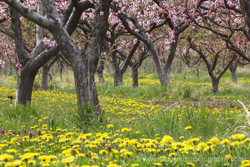 Dandelions and peach blooms bathe this orchard in yellow and pink.