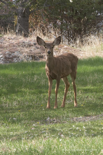 A deer in the cherry orchard