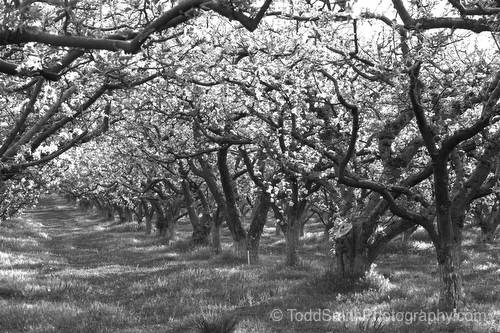 Early light on the apple orchard  (black and white)