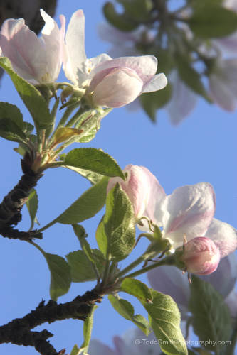 an apple blossom in color