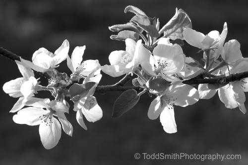 close up of apple blossoms in black and white