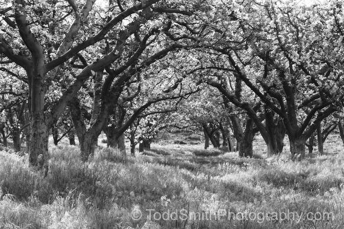 Apple orchard in black and white photography