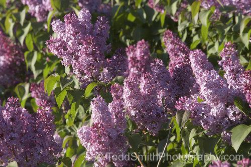 lilac hedge