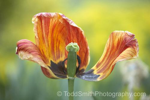 fading tulip blossom