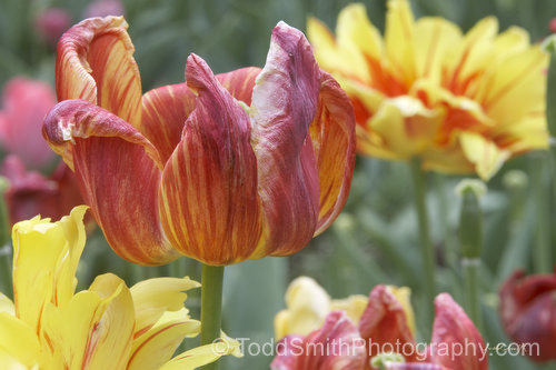 Fading tulips show their Spring Colors to the end.