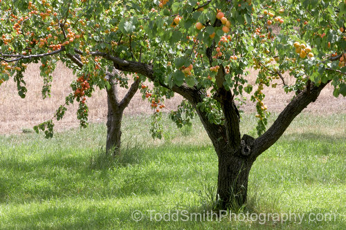 Apricot Orchard in Full Fruit