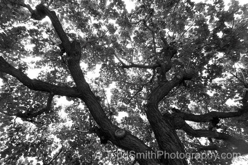 Black and White Photo of a Huge Old Apricot Tree