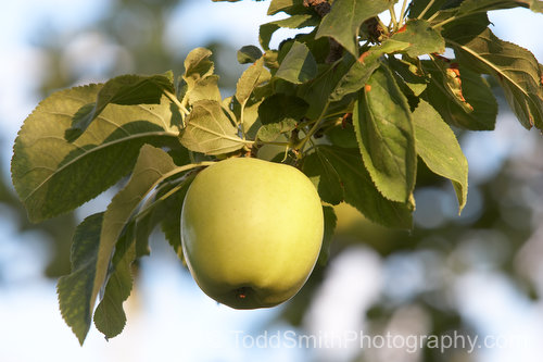 A Golden Delicious apple hangs from a branch, ready to eat.