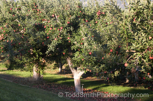 Apple trees in the orchard, ready to pick the fruit