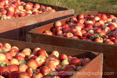Apples in their bins.