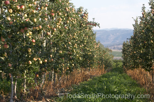 New dwarf apple tree orchards for easy picking and maintenance