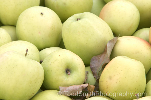 Golden Delicious apples in the bin at the orchard