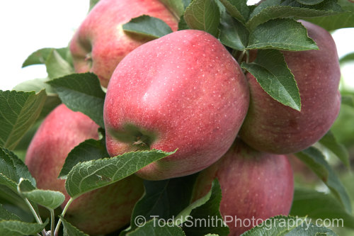 Red Delicious apple cluster on the tree