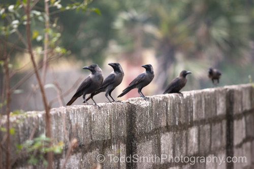 photo greeting card crows on a wall