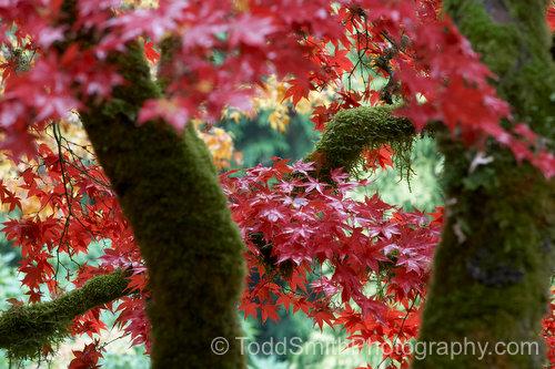 Japanese Maples at Butchart Gardens