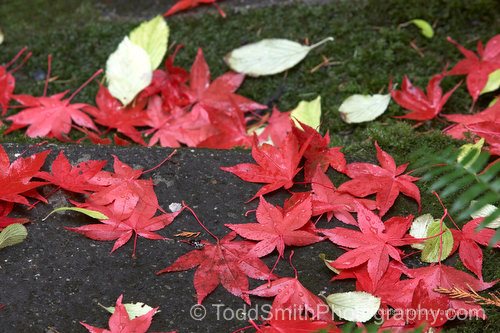 red, fallen leaves from a Japanese maple tree screen saver photo