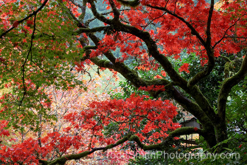screen saver photo: tree branches and autumn leaves of a Japanese maple