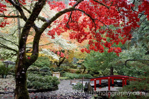 japanese maple tree pictures. Japanese maple tree screen