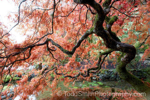 fancy Japanese maple in autumn by a pond screen saver photo