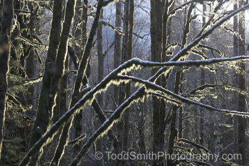 snow on mossy branches