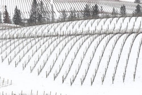 snow on the vineyard