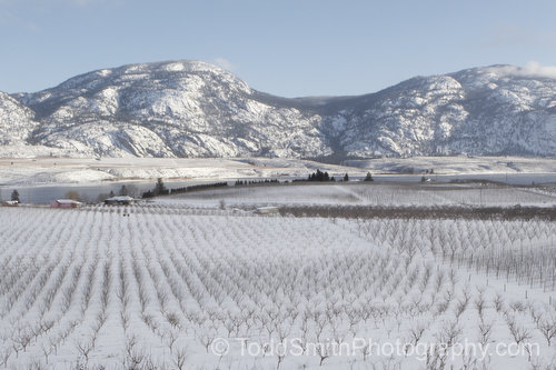 Orchards near Osoyoos, BC