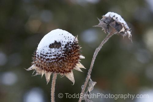 snow on sunflower heads