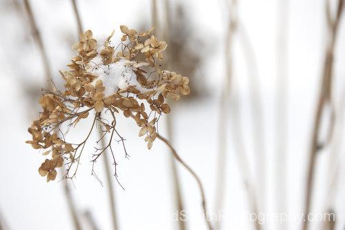 hydrangea in the snow