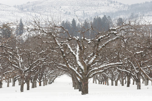 apple orchard in the snow