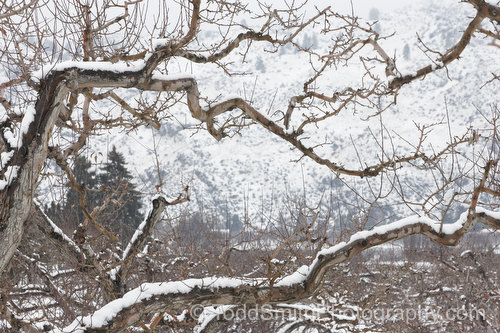 apple branches in the snow