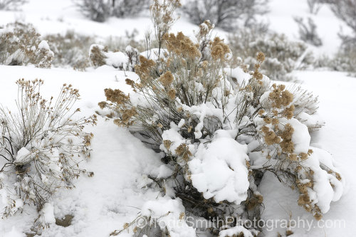 sage brush in the snow