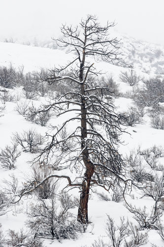ponderosa pine in the snow