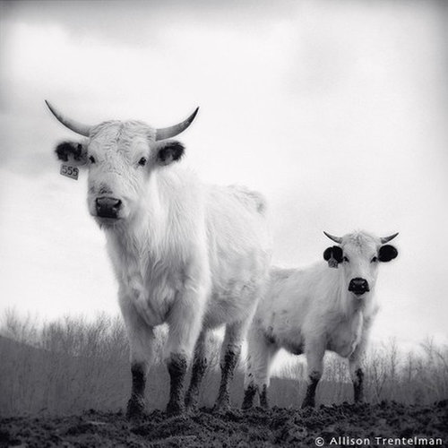 white park cattle by allison trentelman