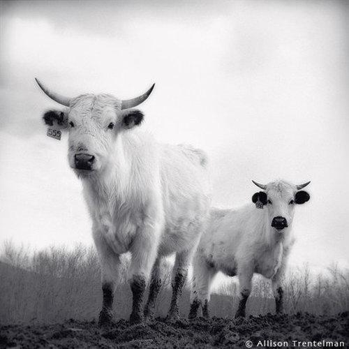 white park cattle by allison trentelman