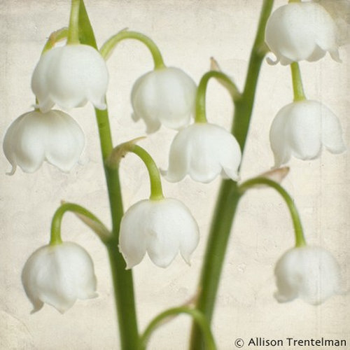 lilies of the valley by allison trentelman