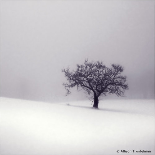 lone tree in snow by allison trentelman