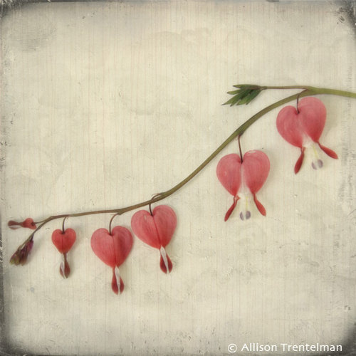 bleeding hearts by allison trentelman