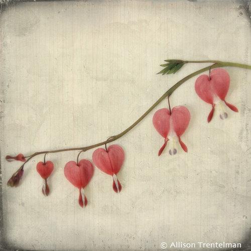 bleeding hearts by allison trentelman