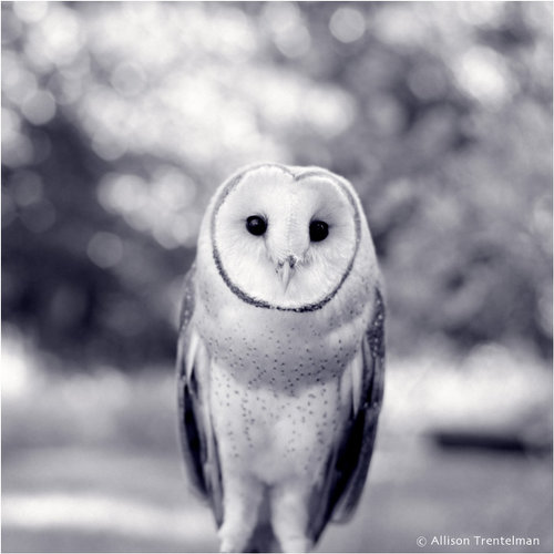 owl in black and white by allison trentelman