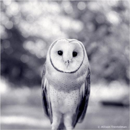 owl in black and white by allison trentelman