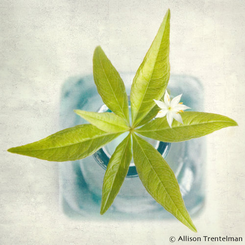 starflower fine art photograph by allison trentelman
