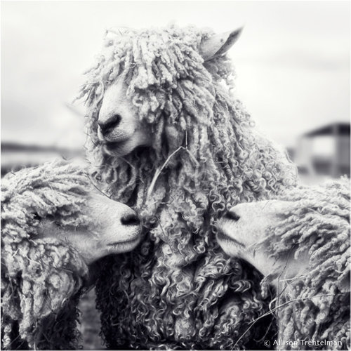 three sheep by allison trentelman