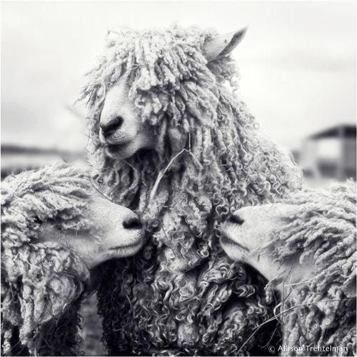 three sheep by allison trentelman